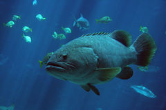 鱼巨人石斑鱼 库存照片