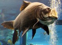 鱼巨人 库存照片