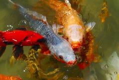 鱼庭院日本koi茶 免版税库存照片