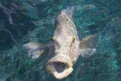鱼拿破仑 库存图片