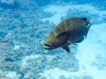 鱼拿破仑红海 库存图片