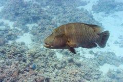 鱼拿破仑红海 库存照片