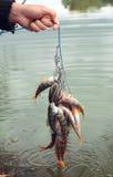 鱼捕获。 免版税库存图片