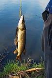 鱼捕获 免版税库存照片