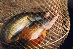 鱼捕获 库存图片
