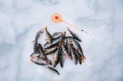 鱼捕鱼冰谎言俄国transbaikalia捕捉冬天 栖息在冰的谎言与体育运动垂钓标尺 库存照片