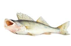 鱼掠食性动物 免版税库存图片