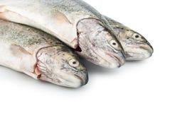 鱼新鲜的三鳟鱼 库存照片