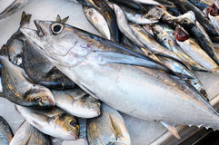 鱼新鲜的金枪鱼 免版税库存照片