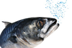 鱼新鲜的鲭鱼 免版税图库摄影
