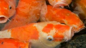 鱼日本红色鲤鱼滑稽的开放嘴关闭大群看法的 影视素材