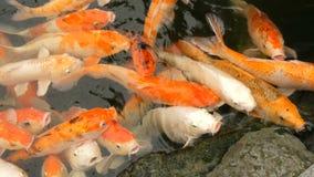 鱼日本红色鲤鱼滑稽的开放嘴关闭大群看法的 股票录像