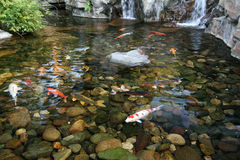 鱼日本koi池塘 图库摄影
