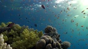 鱼明亮的橙色颜色学校在珊瑚水下的红海背景的  影视素材