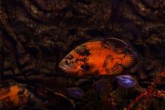 鱼明亮的红颜色 库存照片