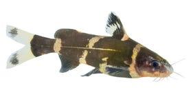 鱼是被仿造的白色和黑色 图库摄影