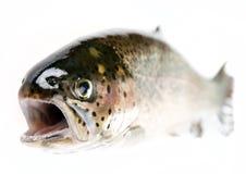 鱼查出的鳟鱼 图库摄影