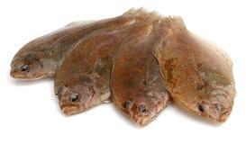鱼比目鱼 免版税图库摄影