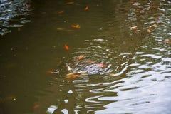 鱼比赛池塘 免版税库存图片