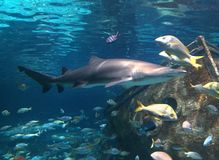 鱼水族馆水盐水异乎寻常的koi鲨鱼 库存图片