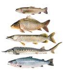 鱼汇集 免版税库存图片