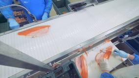 鱼沿传动机在过程中移动并且得到裁减 股票视频