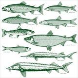 鱼淡水向量2 库存照片
