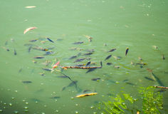 鱼游泳在湖 库存照片