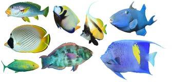 鱼热带查出的礁石 免版税库存照片