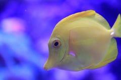 鱼热带黄色 免版税库存图片