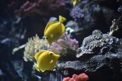 鱼热带黄色 库存照片