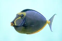 鱼热带naso的特性 免版税库存图片
