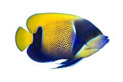 鱼热带navarchus的pomacanthus 免版税库存图片