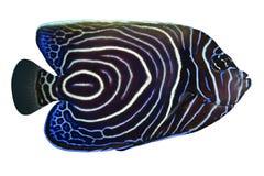 鱼热带pomacanthus的rhom 库存照片