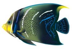 鱼热带pomacanthus的semicirculatus 免版税图库摄影