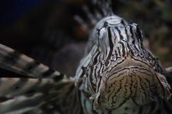 鱼狮子 免版税库存照片