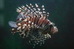 鱼狮子 免版税图库摄影