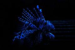 鱼狮子 图库摄影
