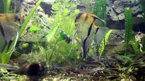 鱼生活有趣的录影在水族馆和鱼游泳的 股票录像
