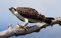 鱼白鹭的羽毛 免版税库存照片