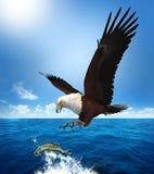 攻击鱼的老鹰 免版税图库摄影