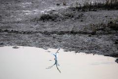 鱼的鸥潜水在河口Bai钳子 免版税库存图片