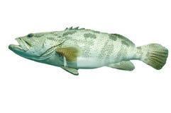 鱼石斑鱼 免版税库存照片
