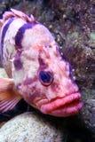 鱼粉红色 库存照片