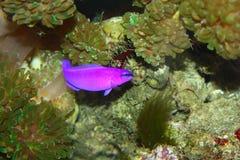 鱼紫色 免版税库存图片