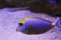 鱼紫色 库存照片