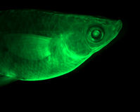鱼绿色 库存图片