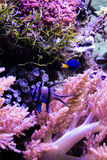 鱼缸与珊瑚生活和Banggai主教钓鱼 免版税图库摄影