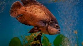 鱼美丽的水中在海洋 在美丽的录影4k海洋海钓鱼游泳 免版税库存照片