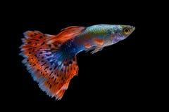 鱼色彩艳丽的胎生小鱼 库存照片